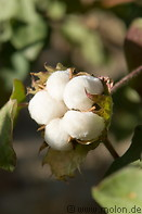 Cotton plantation photo gallery  - 16 pictures of Cotton plantation