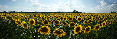 Sunflower plantation photo gallery  - 13 pictures of Sunflower plantation