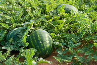 Watermelon plantation photo gallery  - 10 pictures of Watermelon plantation