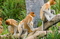 Labuk bay proboscis monkey sanctuary photo gallery  - 27 pictures of Labuk bay proboscis monkey sanctuary