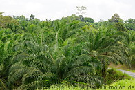 05 Oil palm plantation