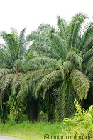 06 Oil palm plantation