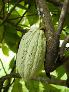 Cocoa Plantation photo gallery  - 27 pictures of Cocoa Plantation
