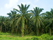 Oil Palm Plantation photo gallery  - 6 pictures of Oil Palm Plantation