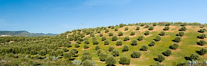 Olive tree plantations photo gallery  - 10 pictures of Olive tree plantations