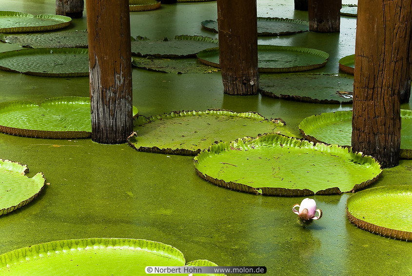 01 Pond with giant lotus leaves